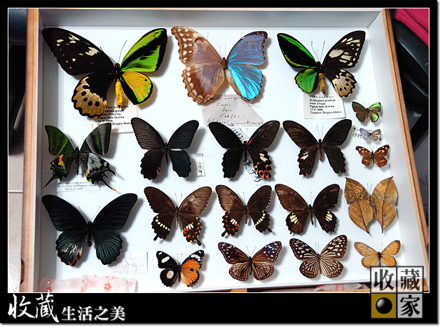 Custom designed Eureka Dry Cabinet for rare Hermaphroditism butterfly specimen