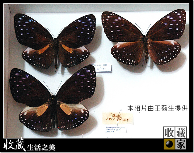Eureka Dry Cabinet for extinct butterfly specimen